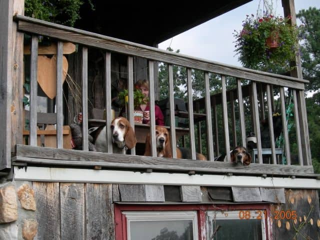 Bassets looking out from their porch, at The Barn.