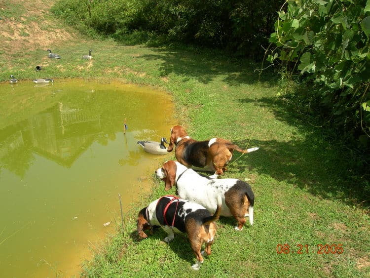 Basset gathering at the pond below The Barn.